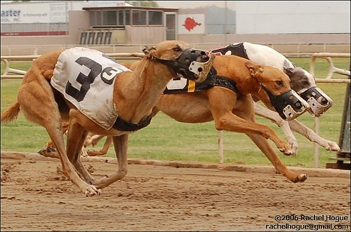 australian racing greyhound